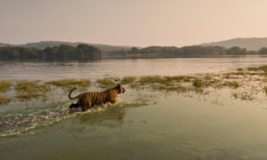 A tiger wades into the waters of Raj Bagh lake in Ranthambhore tiger in Rajasthan, India.