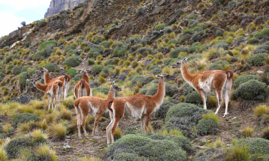 A herd of guanacos in the Chacabuco valley