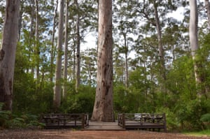 The Dave Evans Bicentennial Tree