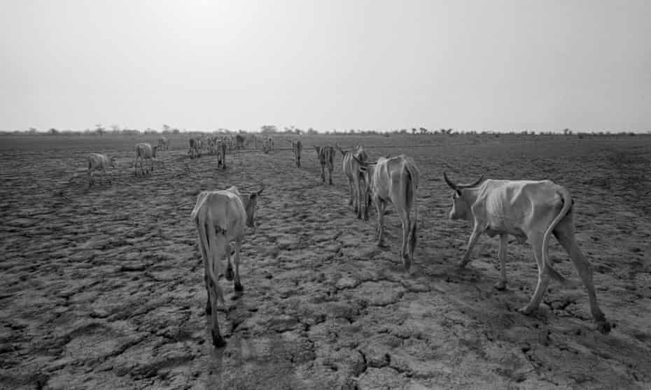 Starving cattle roam a cracked landscape in Mauritania in search of water, 1978.