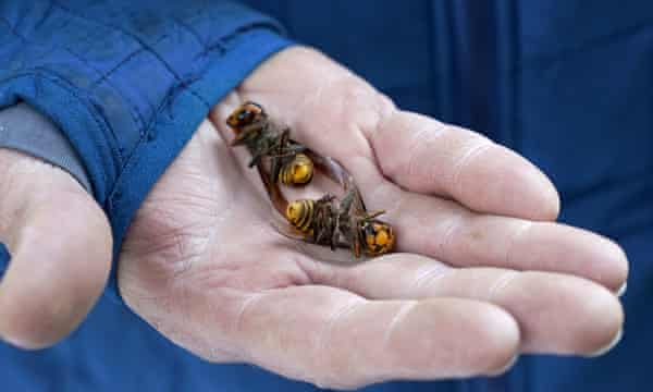 A Washington state Department of Agriculture worker holds two Asian giant hornets vacuumed from a tree in Blaine, Washington.