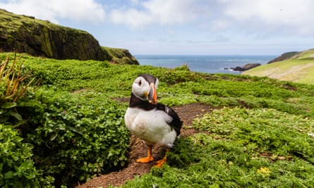 Puffin on Skomer Island, Pembrokeshire