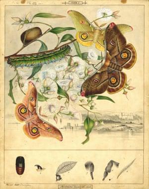 Emperor gum moth by Harriet Scott