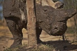 A northern white female rhino