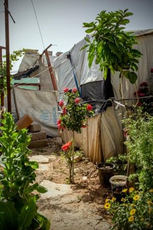 A rose bush in Domiz refugee camp.