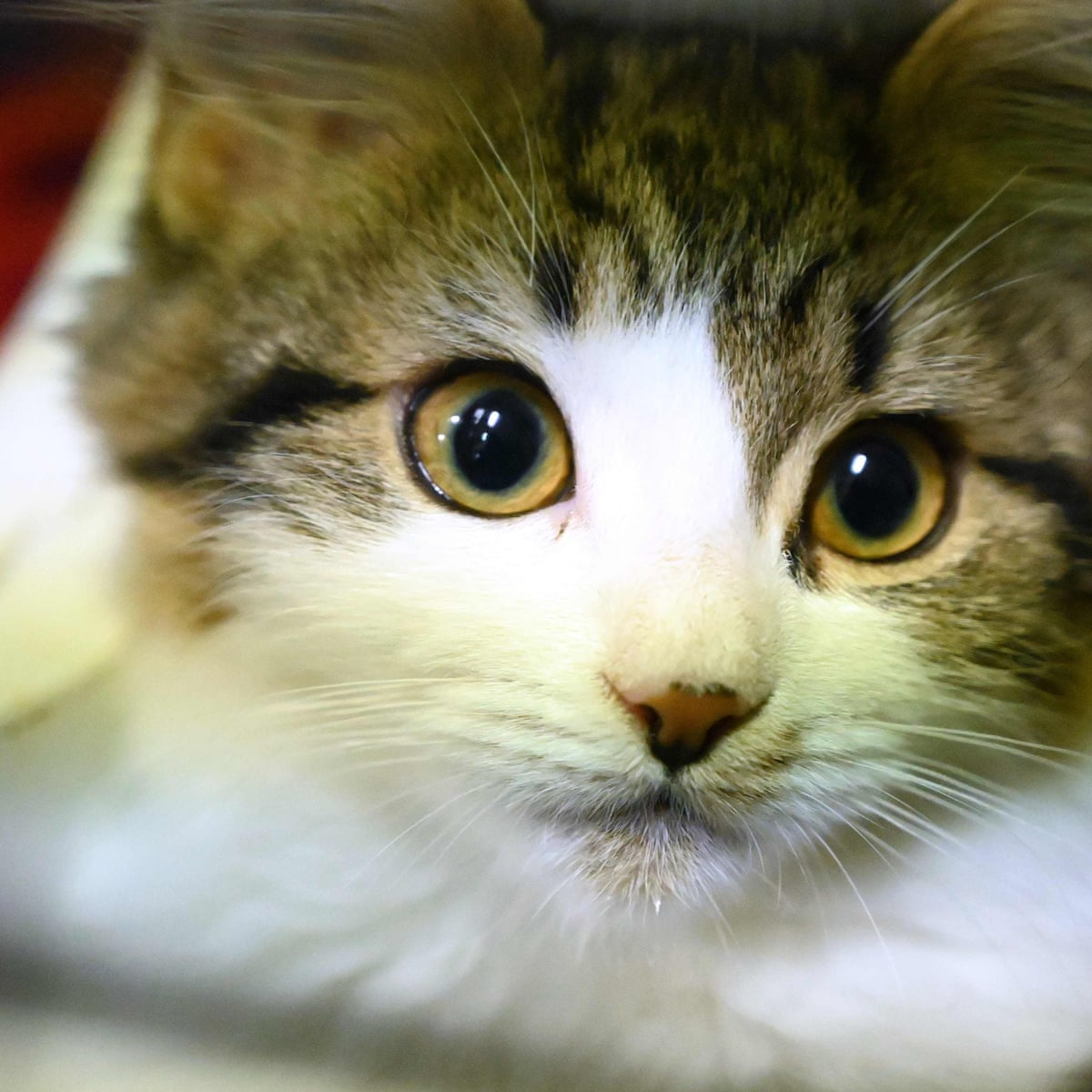 Cats can infect each other with coronavirus, Chinese study finds |  Coronavirus | The Guardian
