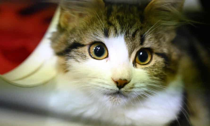 The researchers found that cats are highly susceptible to Covid-19.