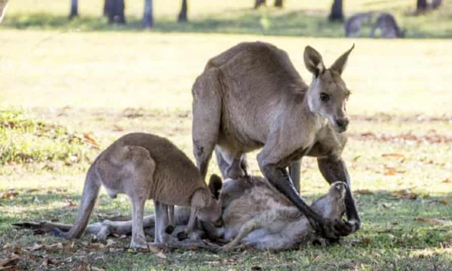 The female kangaroo's head falls back to the ground