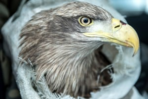 A rescued white-tailed eagle moments before it is released in Laszczowka, Poland. The giant raptor is thought to have eaten poisoned carrion