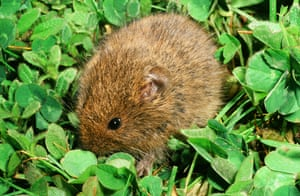 An Orkney vole