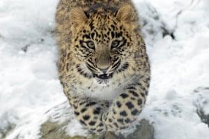 A leopard cub in the snow at Dvůr Králové nad Labem Zoo in the Czech Republic