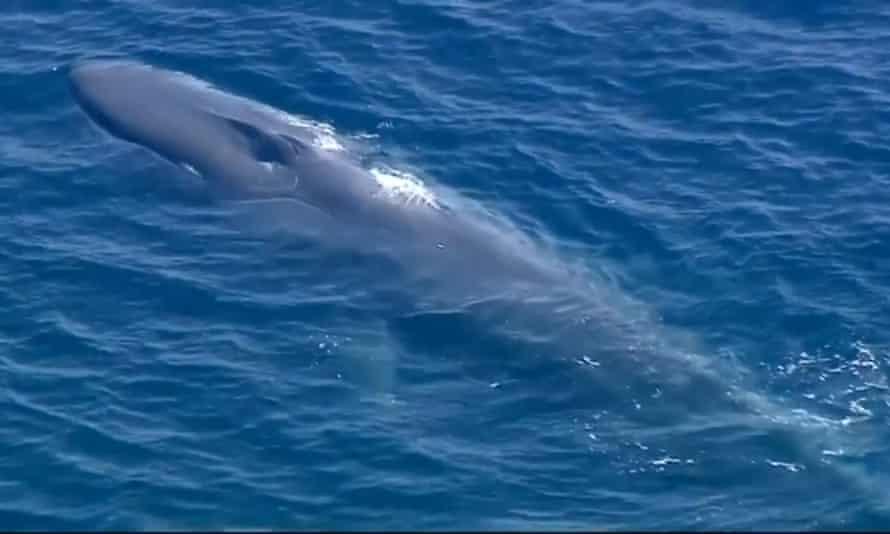 A blue whale entangled off the coast of California