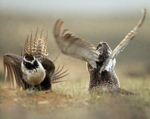 Male sage grouse fight for the attention of a female southwest of Rawlins, Wyoming. The ground-dwelling bird's vast range spans 11 Western states