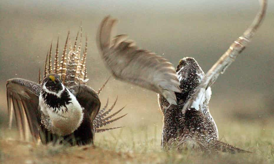 Conservation groups have sued to protect the habitat of the sage grouse from drilling.