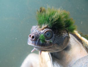 A Mary River turtle.