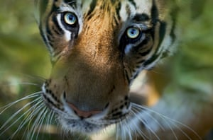 The bright eyes of a Bengal tiger stare up in Bandhavgarh national park