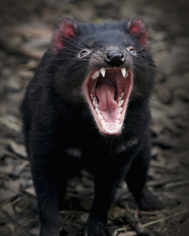 Tasmanian devils were moved to Maria Island to safeguard their existence against a facial tumour. Photograph: Ian Waldie/Getty Images