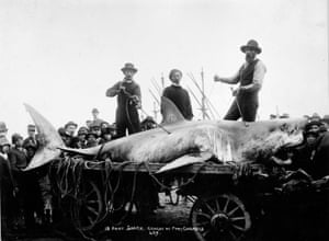 A great white shark caught at Port Chalmers, 1900.