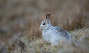Mountain hares in some parts of the UK no longer have a white coat in winter.