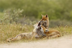 Three foxes play-fighting in the Netherlands