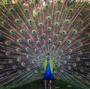 Renai Roberts from Colbee, Australia was awarded third place in the animals category with this shot of a peacock.