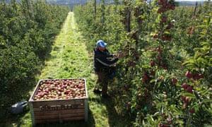 Harvesting apples in Kent