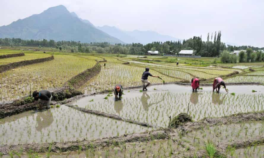 Farmers Work In Paddy Fields In Srinagar. With less rainfall in several parts of India this monsoon, many fear drop in production of rice and other crops.