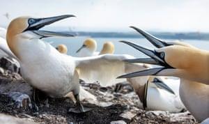 Gannets squabble, mate and nest build.