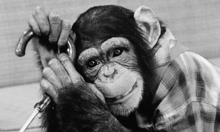 Cobby the chimp during his TV heyday.