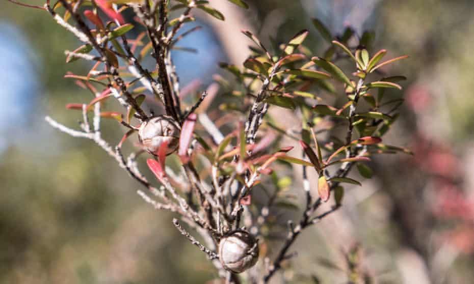 The Leptospermum scoparium plant, which bees feed on to produce Mānuka honey.
