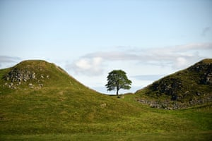 The sycamore gap tree: sycamore (Acer pseudoplatanus), several hundred years old, Hadrian's Wall, Northumberland, England, UK