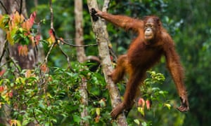 The total number of orangutans in Borneo has fallen to less than 100,000, half what it was in 1995.
