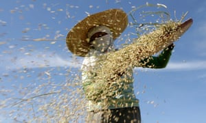 A farmer sifts rice in the Philippines: A drop in the nutritiousness of rice could have profound health effects