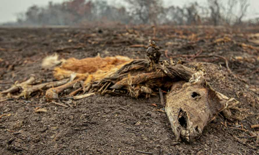 Dead animal from Pantanal.