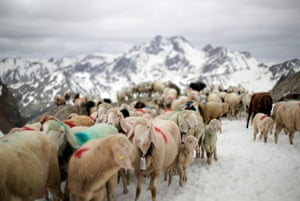 Alpine sheep cross the Hochjoch pass, 2,856 metres above sea level