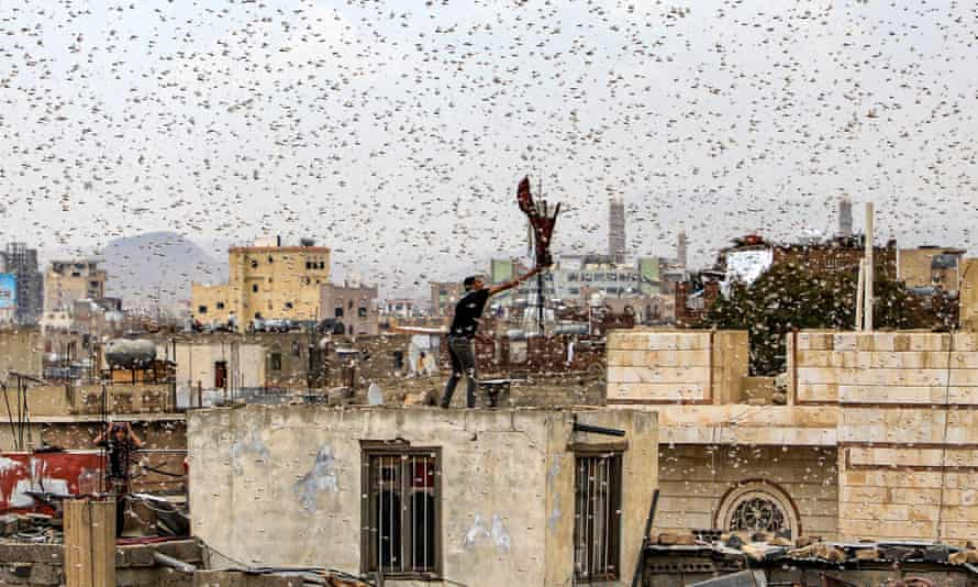 A man tries to catch locusts as they swarm over Sana'a in July 2019