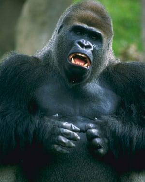 A male lowland gorilla.