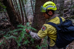 A member of the specialist team of remote-area firefighters and parks staff inspects the endangered Wollemi pines for bushfire damage.