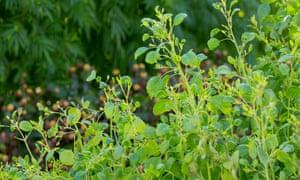 Porophyllum ruderale has a hint of rue, nasturtium and lime.