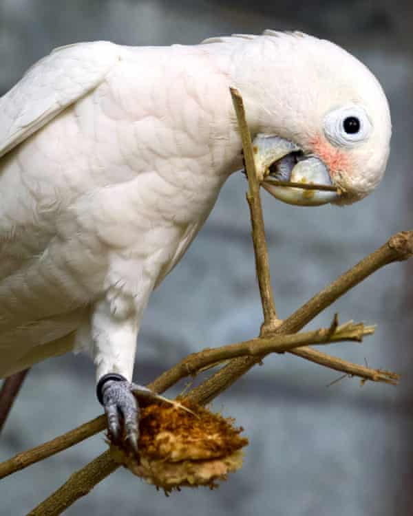 Goffin's cockatoo manufacturing a tool from a tree branch