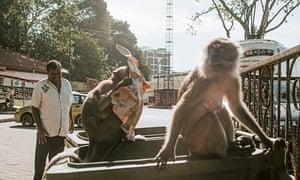 Long-tailed macaques raid a bin.