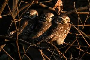 Spotted owlets on a tree branch in Kathmandu, Nepal