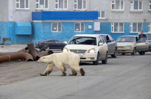 Norilsk, RussiaA stray polar bear is seen in the Siberian industrial city