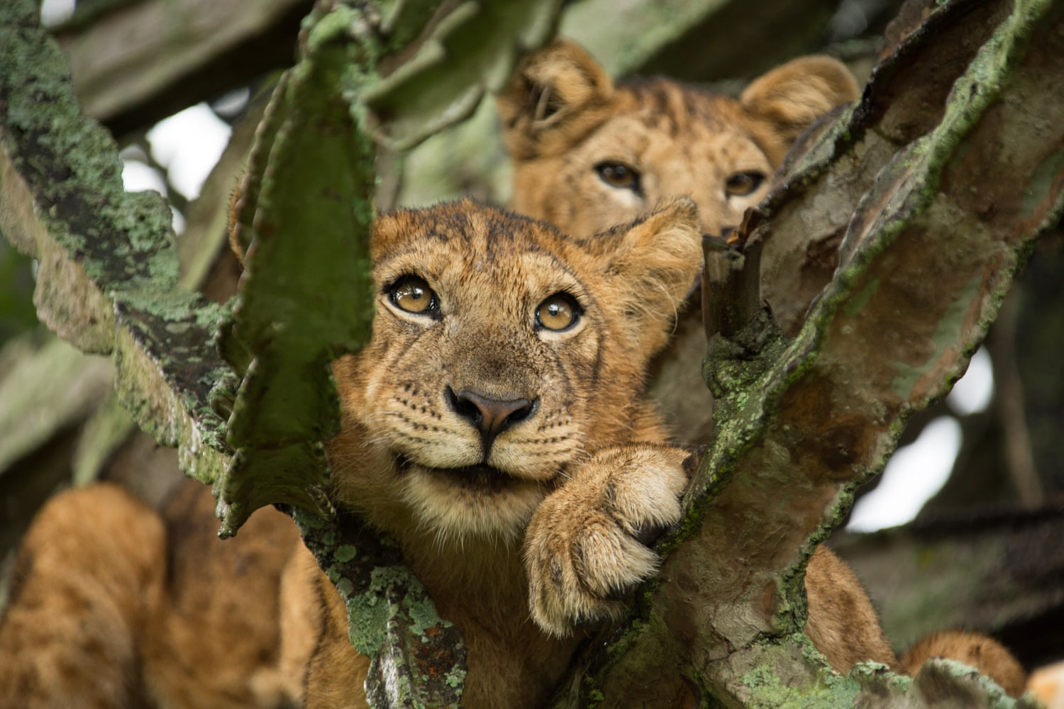 The cat's whiskers: new way of counting lions could boost conservation efforts