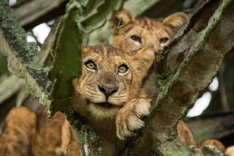 Two cubs in a tree near Queen Elizabeth National Park in Uganda.
