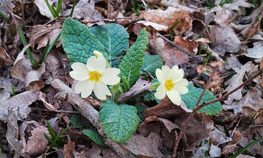Primrose flowers in Rosier Wood, Billingshurst, West Sussex.