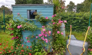 rose-covered shed from allotment callout 2019