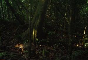 A lesser mouse deer in Batang Gadis national park, in north Sumatra.