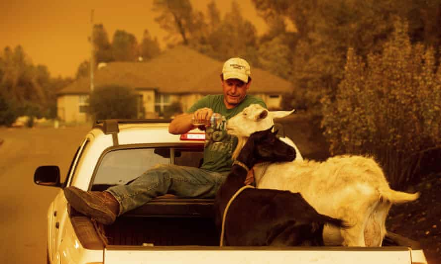 Mark Peterson, who lost his home in the Carr Fire, gives water to goats that survived the blaze.