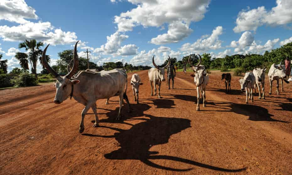 Cattle like these being herded on the outskirts of Rumbek are central to the lives of the feuding Dinka and Nuer tribes.